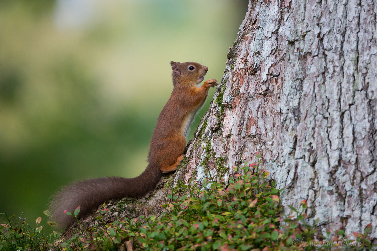 Red Squirrel, Eichhörnchen