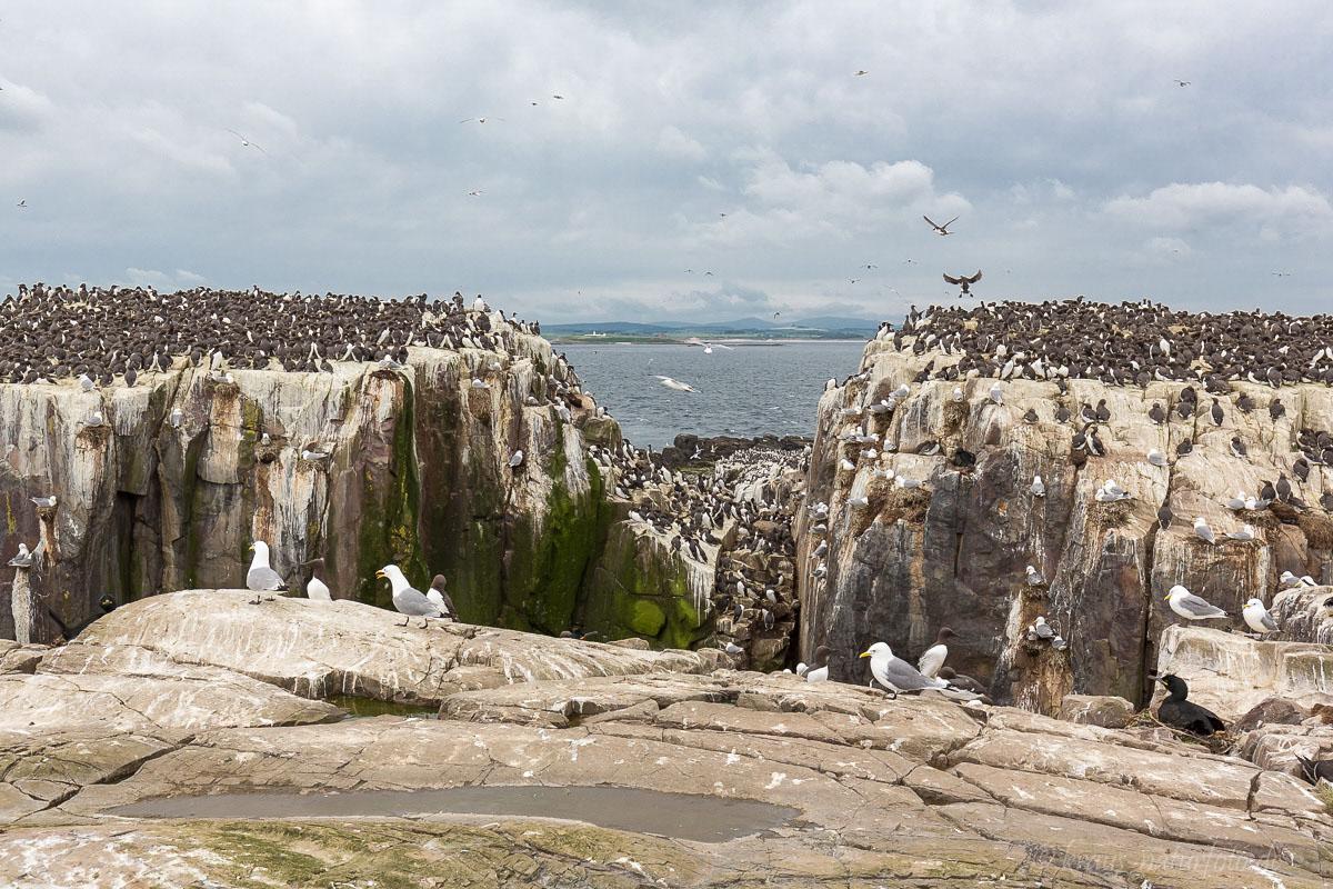 Vogelkolonie auf den Farne Islands