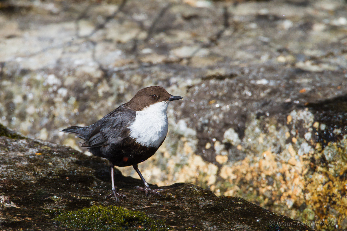 Wasseramsel, Norwegens Nationalvogel