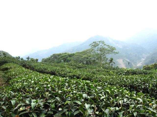 羽唐 - 阿里山茶園