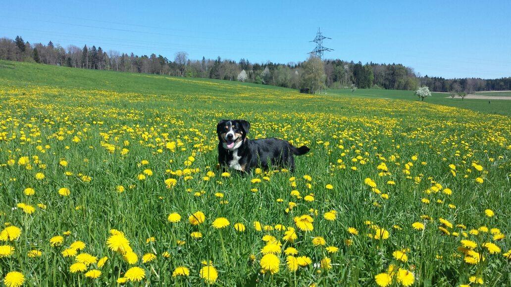 Hofhund Senta
