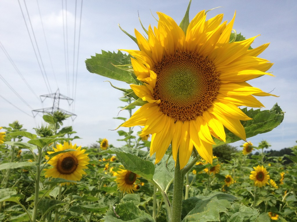 Sonnenblume 2012