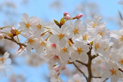 福岡某所の桜