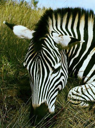 Zebras sind einfach wundervolle Tiere nicht wahr?