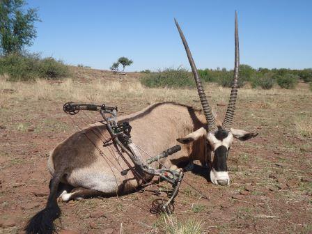 Auf Anfrage kann auch mit dem Pfeil und Bogen erfolgreich gejagt werden. Hier ein sehr starker Oryxbulle, welcher auf Falkenhorst mit dem Bogen erlegt wurde.