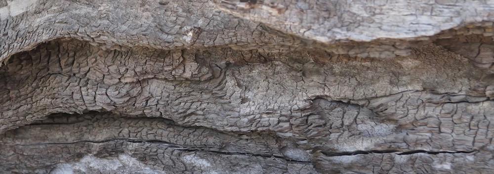 Parque Nacional Conguillió (Chile): Altes Holz en masse