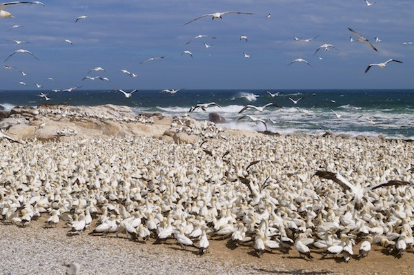 Bird Island is an important breeding site for Cape Gannets