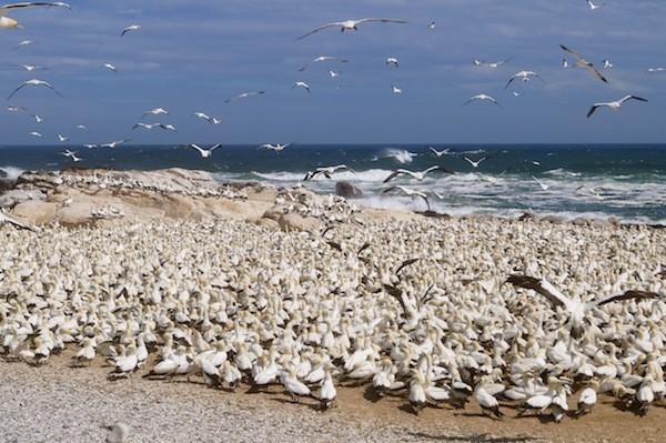 Bird Island ist eine wichtige Brutstelle für Cape Gannets