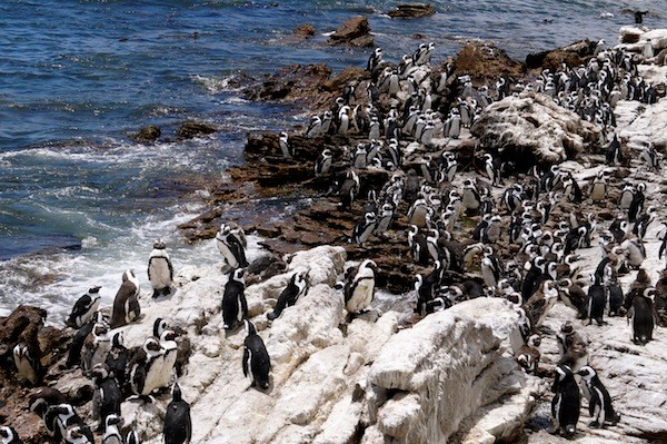 Penguin colony in Betty's Bay