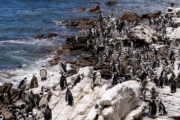 Pinguin Kolonie in Betty's Bay