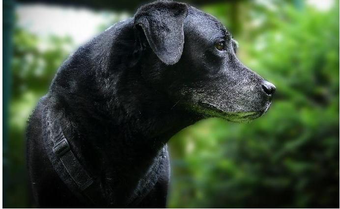 Akupunktur Laser Therapie beim Hund