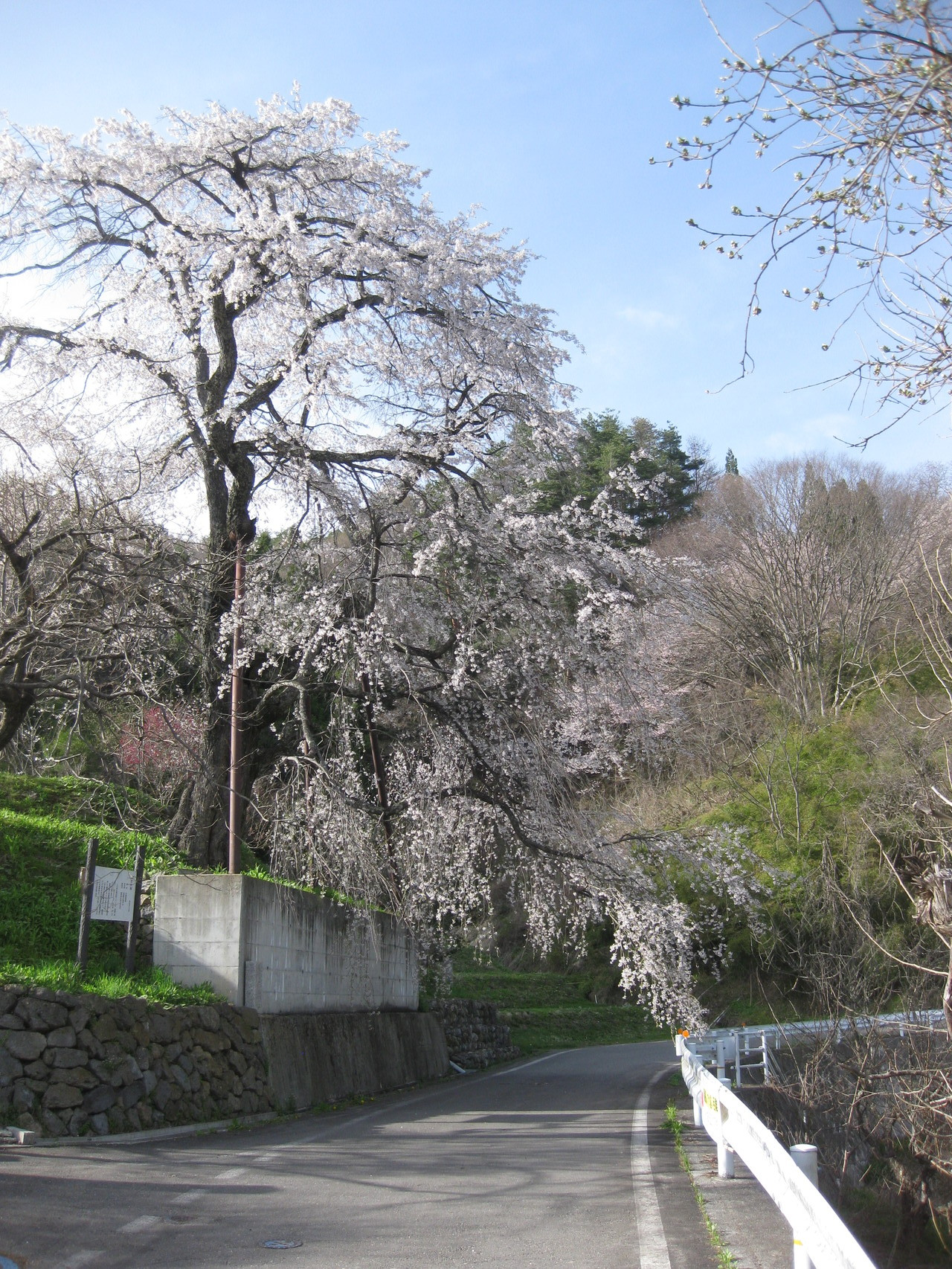 池田町唯一の枝垂桜