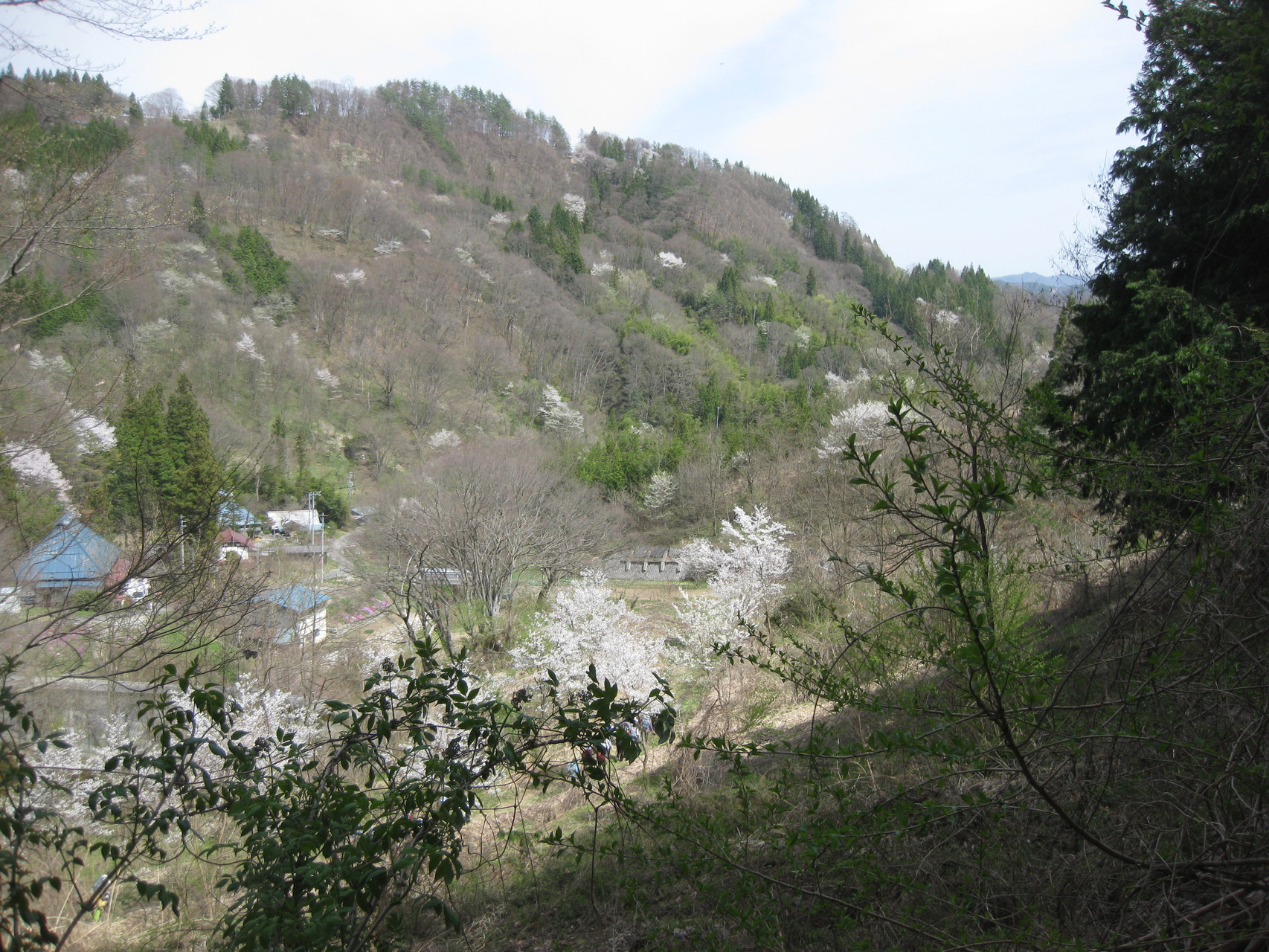 日向堤の桜