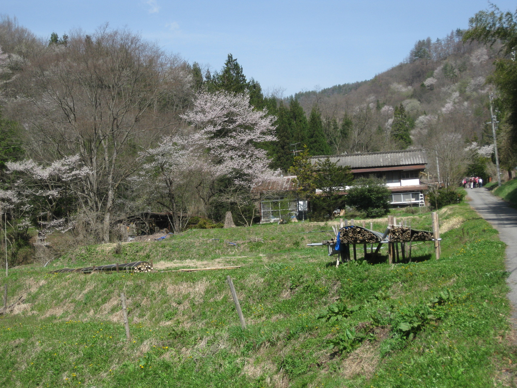 日向地区の桜