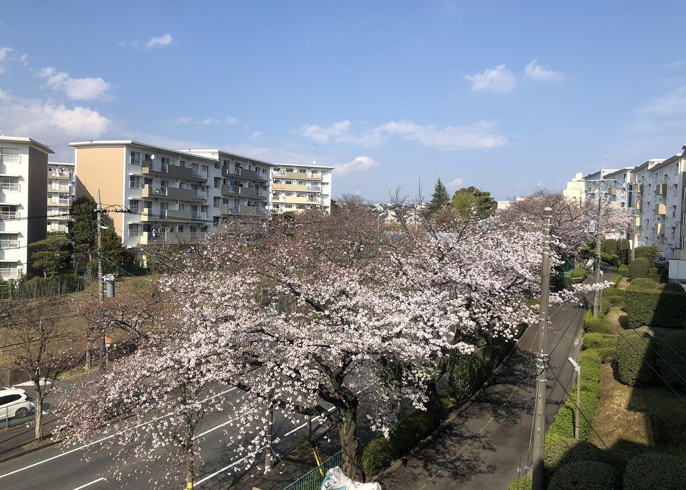 2019 すすき野団地の桜です。