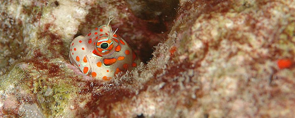 Süd Ari Atoll Mirihi - Orange spotted Blenny (Blenniella chrysospilos) /orange-gepunkteter Schleimfisch    Image/Bild Stephan Stamm © belimago.net