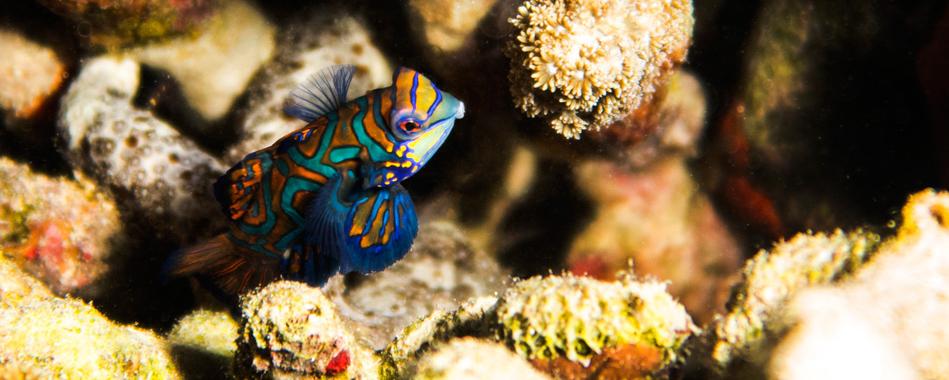 Mandarin Fish Indonesia / Mandarin-Fisch Indonesien Image/Foto Stephan Stamm belimago