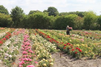 Rosen schneiden für die Reiser.