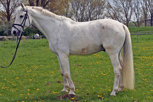 Ludwig (eigentlich Lanciano), 1987 geborener Holsteiner, kam im August 1998 auf den Wiesenhof. Das ehemalige Springpferd schulte um auf Dressur- und Voltigierpferd und blieb bis Juni 2011.