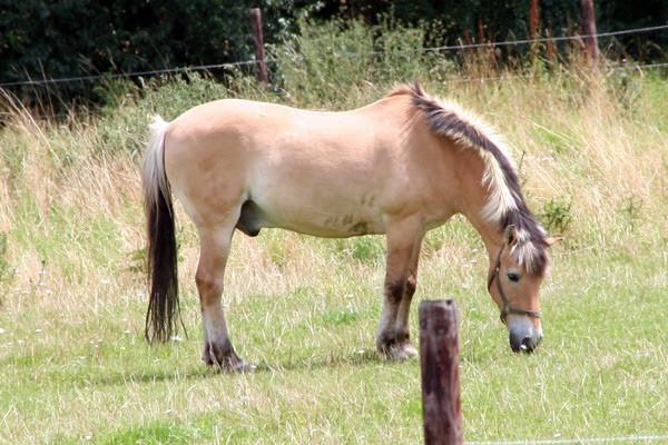 Thordø, ein 1979 geborener Norweger, war DAS prägende Pferd der RSG. Seit Januar 1989 im Schulbetrieb, wurde er auf der Weihnachtsfeier 2006 in die Rente verabschiedet, die er bis zu seinem Tod kurz vor seinem 30. Geburtstag auf dem Wiesenhof verbrachte.