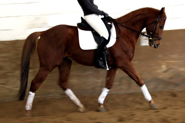 Antwerpes, 2000 geborenes Englisches Vollblut, das statt einer Karriere als Rennpferd von Dezember 2008 bis Dezember 2011 bei uns auf dem Wiesenhof war.