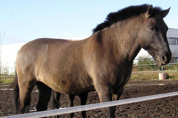 Smoky, geboren 1989 als Huzule mit dem Namen Hroby, kam 1993 und blieb als Herdenchef sehr lange. Ende März 2009 ging es in den wohlverdienten Ruhestand und mit seiner ehemaligen Reitbeteiligung auf die Koppel.