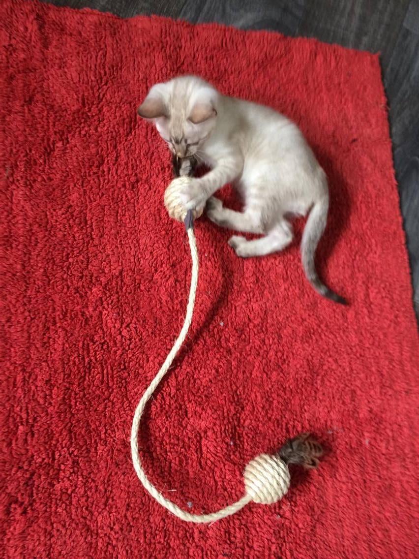 Auch ein 2. Kitten könnte am anderen Ende spielen.