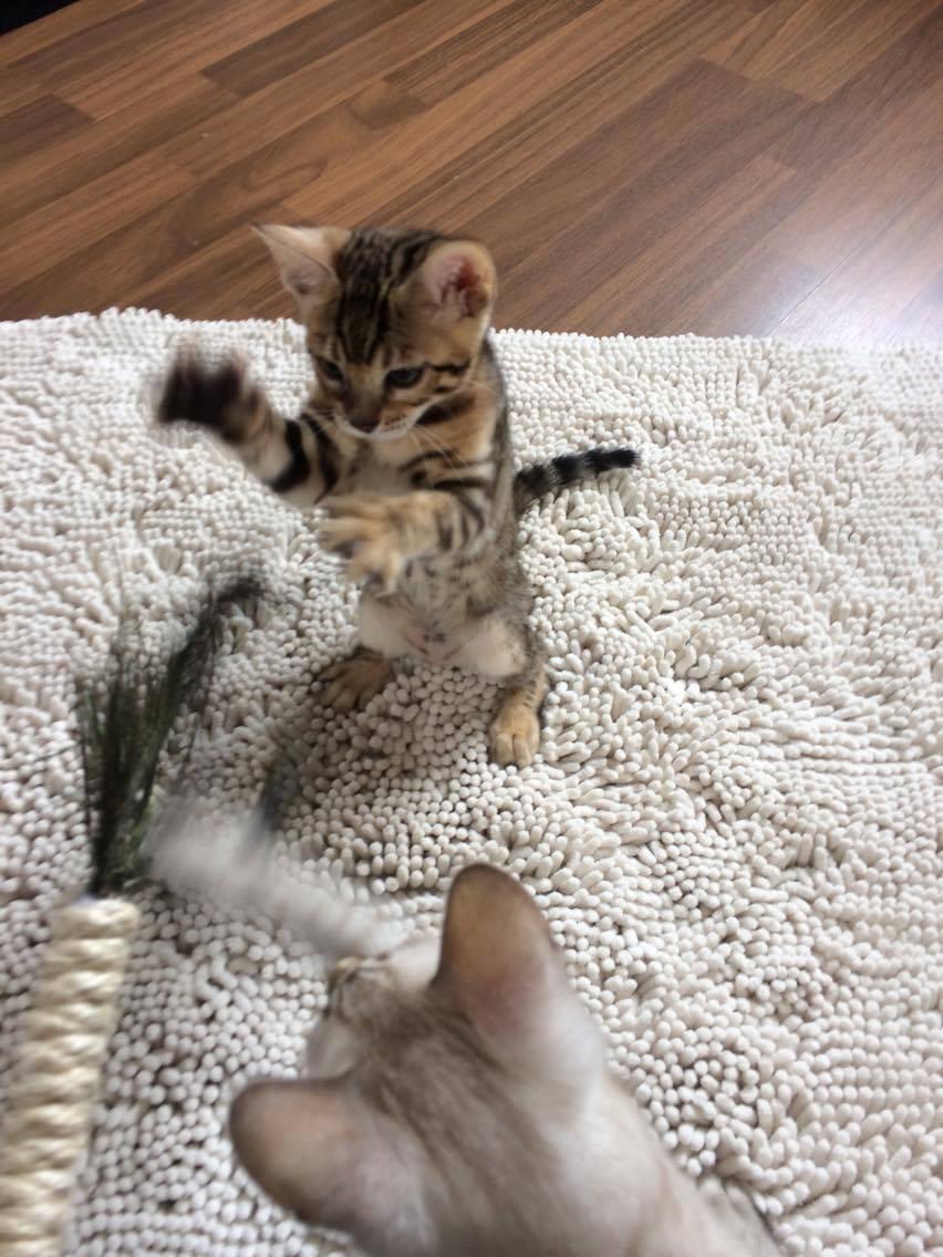 Auch wenn die Kitten viel eigenes Spielzeug haben. den Stab finden sie auch super <3
