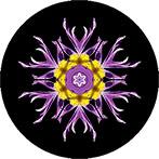 Mandala aus einer violetten Kuhschelle mit schwarzem Hintergrund, Kuhschellenmandala