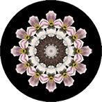 Mandala aus einer Clematis, Clematismandala