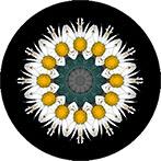 Mandala mit einer weissen Dahlie, Dahlie weiss, Dahlienmandala Dahlienmandala