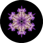Mandala aus einer lila Kuhschelle mit schwarzem Hintergrund, Kuhschellenmandala
