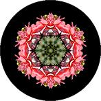 Mandala aus einer dunkelrosa Dahlie, Dahlienmandala