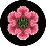 Mandala aus eine rosa Mohn, Mohnmandala