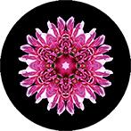 Mandala aus einer rosa Dahlie, Dahlienmandala