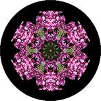 Mandala aus einer Hyazinhe mit schwarzem Hintergrund, Hyazinthenmandala