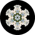 Mandala mit einer weissen Marillenblüte, Marillenblütenmandala