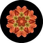 Mandala aus einem orangen Mohnblüten, Mohnmandala