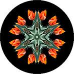 Mandala aus orangen Tulpen, Tulpenmandala