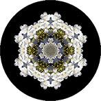 Mandala mit einer weissen Haselblüte, Haselblütenmandala
