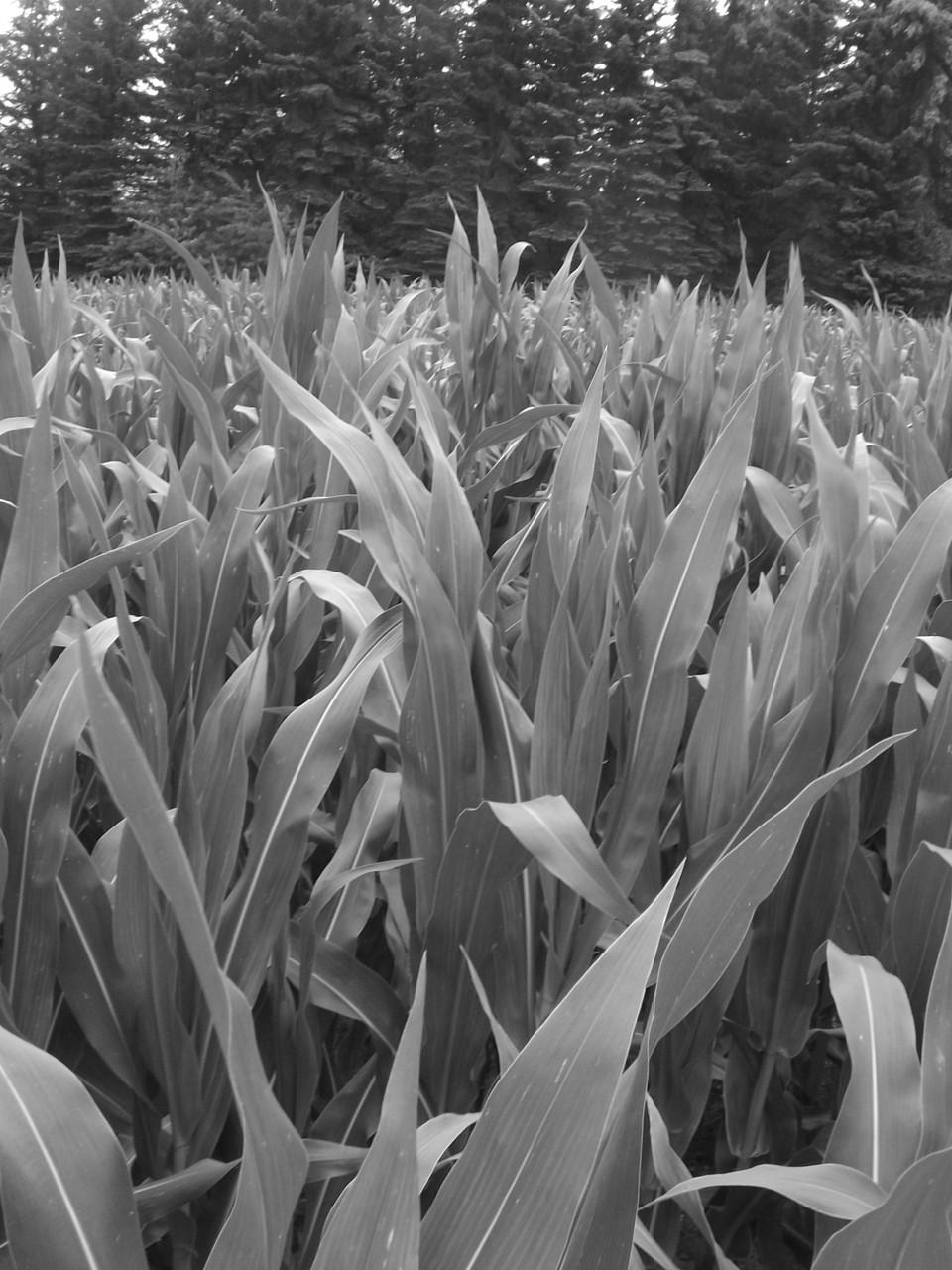 Maisfeld im Wachsen