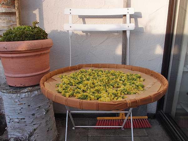 schlüsselblumen werden an einem schattigen platz ausgelegt und getrocknet