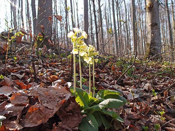 die waldschlüsselblume hat helle, leicht ins grünlich gehende blüten