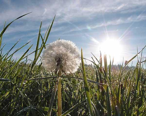 eine pusteblume im vordergrund und am horizont strahlt die sonne der zuversicht
