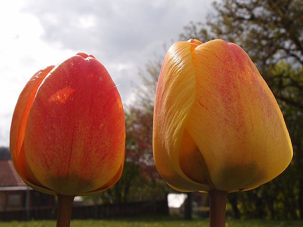 zwei tulpen im garten