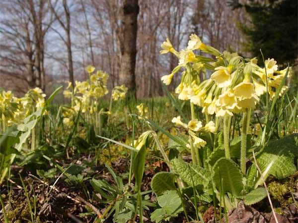 die hohe schlüsselblume wächst auf wiesen und waldlichtungen