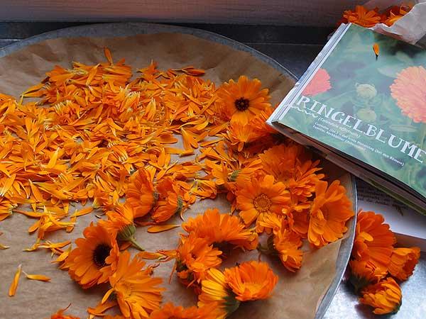 die blütenblätter der ringelblume werden zum trocknen abgezupft