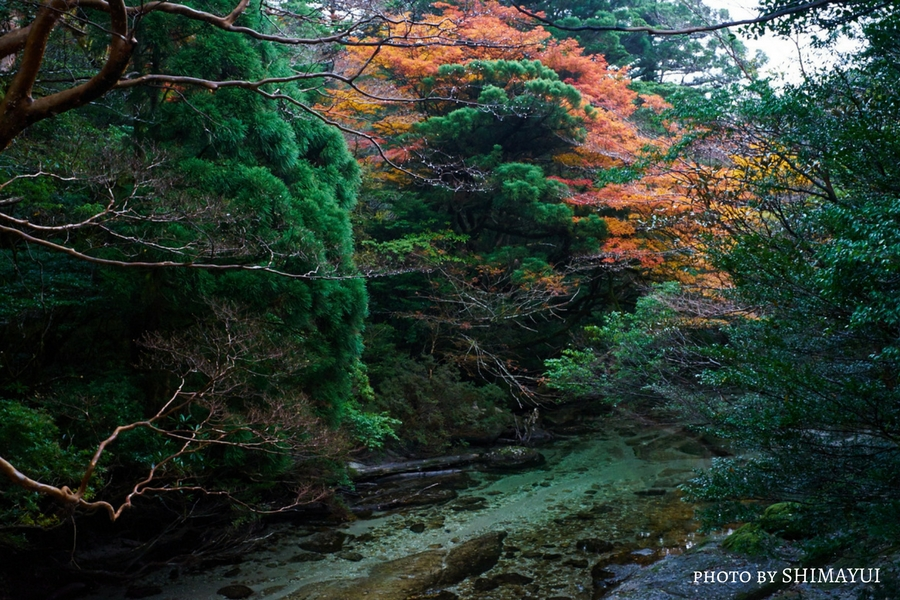 常緑の森に映える紅葉,宮之浦岳日帰りツアー,淀川,10月下旬から11月中旬