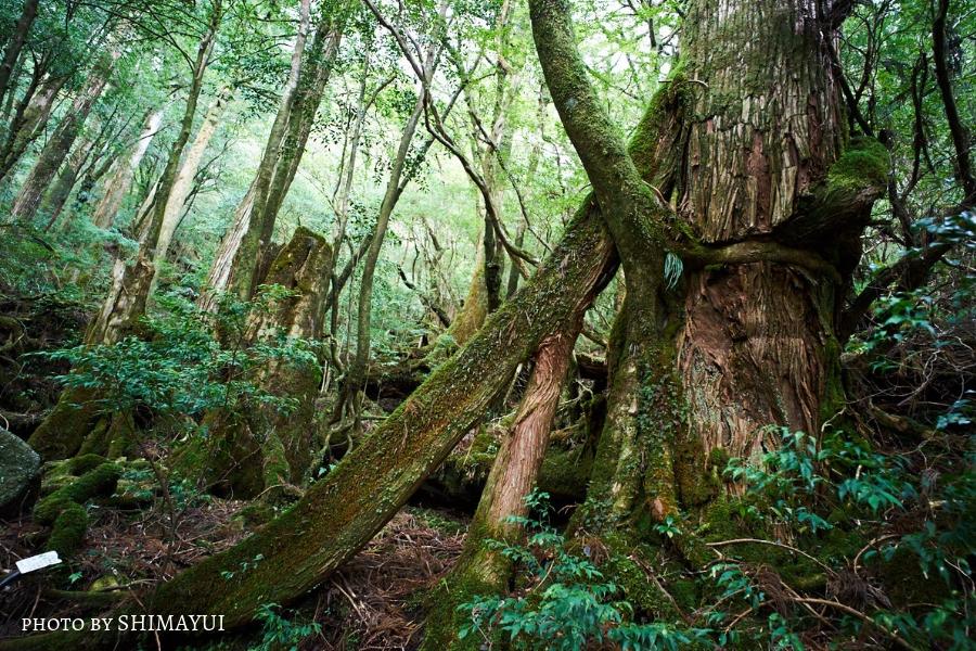 ヤクスギランド,絞め殺しの木,屋久島,ガイドツアー,半日過ごし方,屋久杉,トレッキング