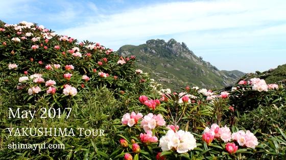 2017年5月の屋久島ガイドツアーの受付状況、太鼓岩の桜,お花見トレッキング
